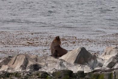 Beagle Channel, Sea Lion