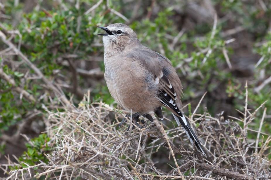 Patagonian Mockingbird Singing