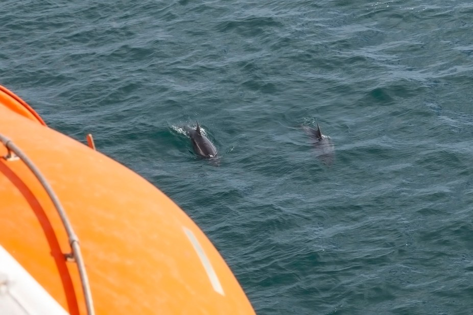 Dolphins From Arcadia At Guernsey