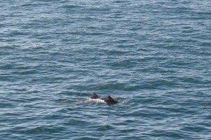 Dolphins, Guernsey