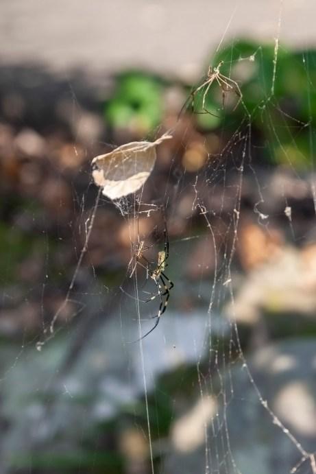 Japanese Spider