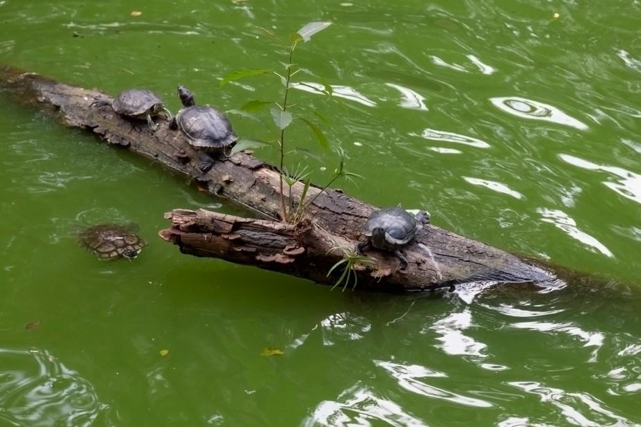 Turtles On Log