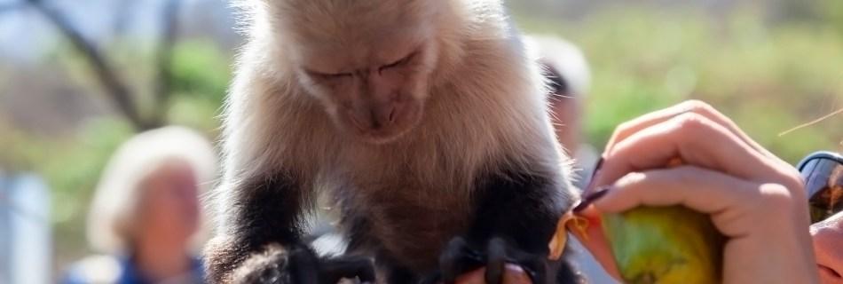 Feeding White-Faced Capuchin