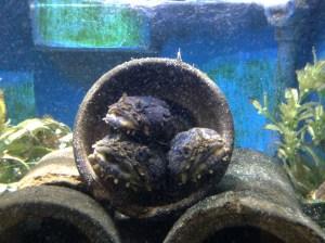 aquar toadfish