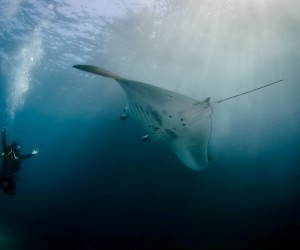See-the-gracious-flying-of-Manta-Rays-300x250