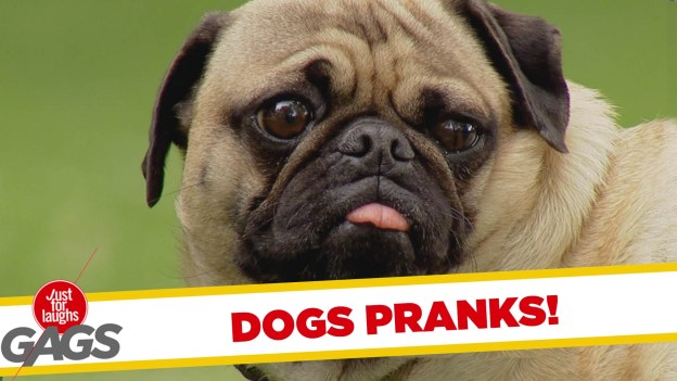 Dogs Get Pranked – Best of Just for Laughs Gags