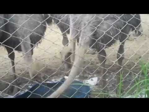 Ostrich Farming In Nepal