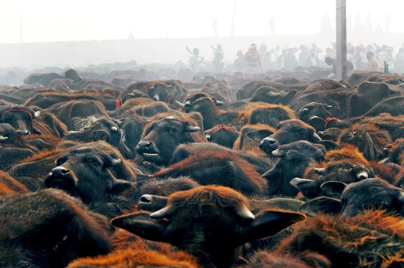 Gadhimai-Bali