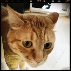 【Instagram】昨日会った猫ちゃん。テーブルの下からじーっと眺めてるのが愛おしい…(*^^*) #猫 #ねこのきもち