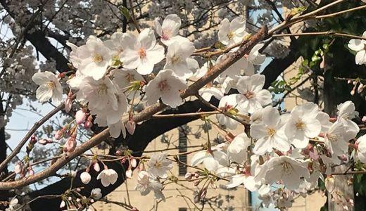 桜、満開。近所や職場近くを散策して桜を撮ってみました【日常】