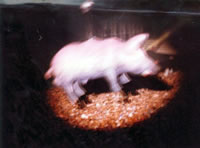 Big man pig man! Pink Floyd's pig!