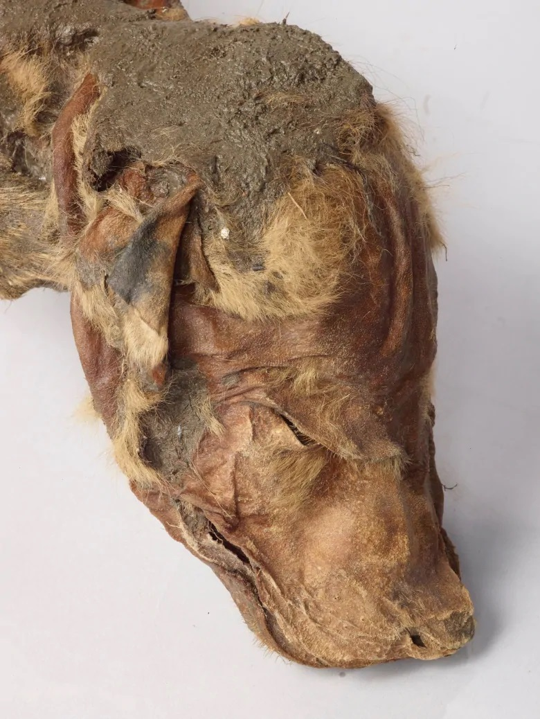 Amazingly Preserved Wolf Pup Mummy Discovered in Yukon Gold Mine