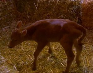 [Fox] A bright point in the show, the birth of the first calf
