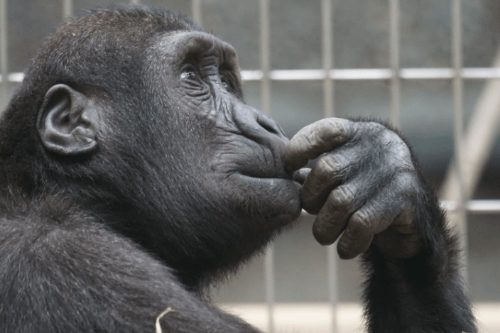 Concentration thinking ape monkey gaming