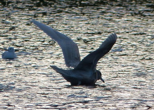 Glaucous Gull stretching its wings at dusk