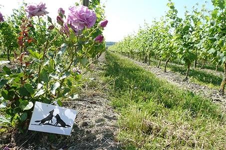 Les-Nerleux-vigne-Saumur-Champigny