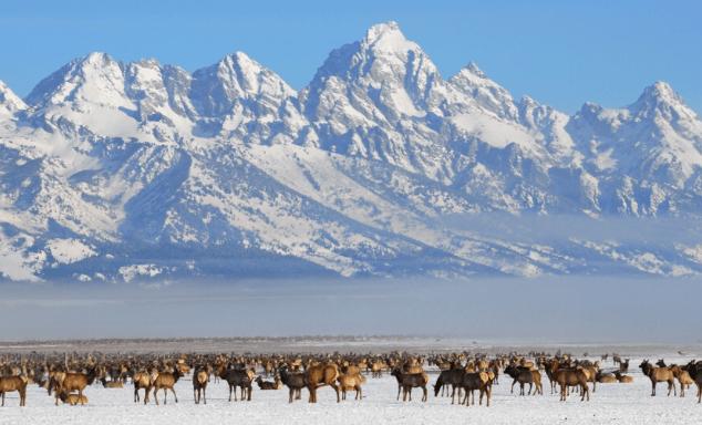 A fog bank between the Tetons and the elk on the National Elk Refuge.