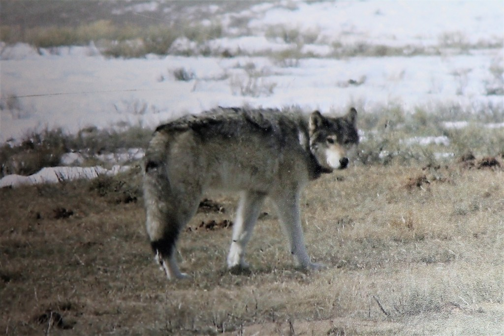 Coyotes and wolves roam the National Elk Refuge