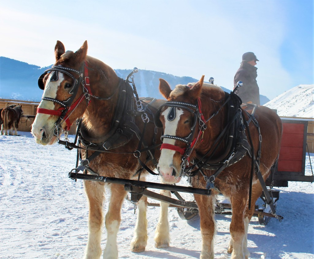 A driver of the National Elk Refuge Sleigh Rides waiting to take guests out on a sleigh ride.