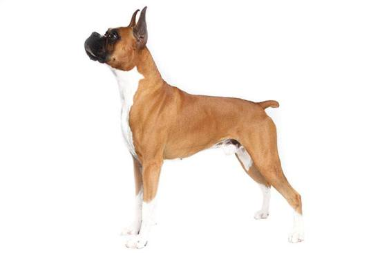 Anjing Boxer