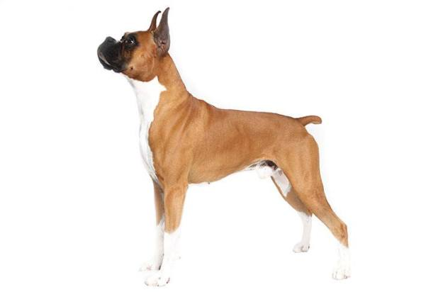 Boxer Dog [1945-1946] </p data-recalc-dims=