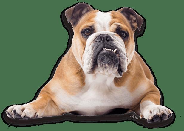 Bulldog Dog Breed </p data-recalc-dims=