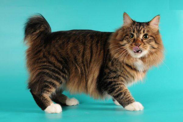 Jenis Kucing American Bobtail