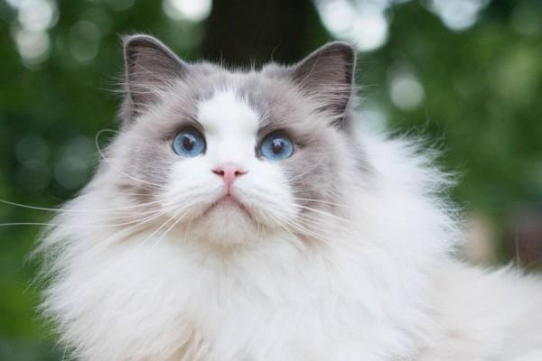 20 Jenis Kucing Yang Populer Beserta Harga Gambar Lengkap