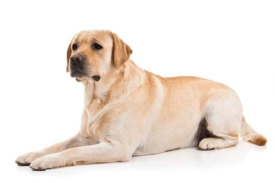 Labrador Retriever Dog Breeds