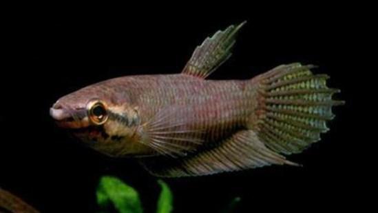 jenis-jenis ikan cupang akarensis