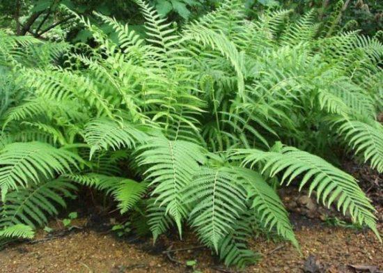 Characteristics of True Paku Plants