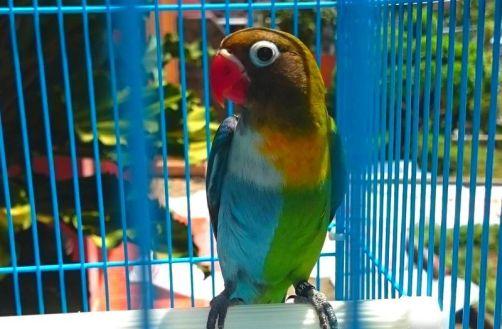Lovebird Halfsider