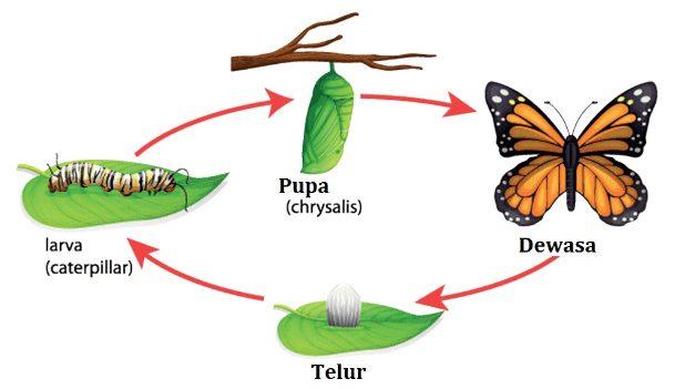 Perkembangan Kupu-kupu