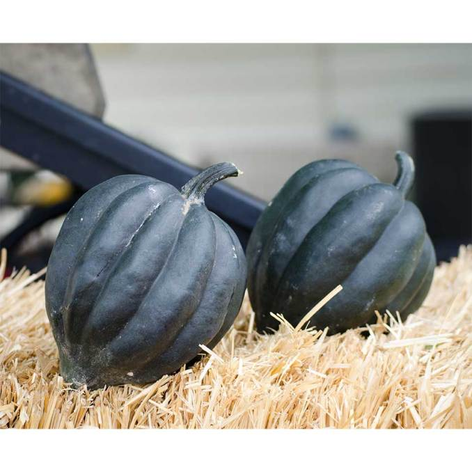 Black Bellota F1 Hybrid Winter Squash Seeds - NE Seed