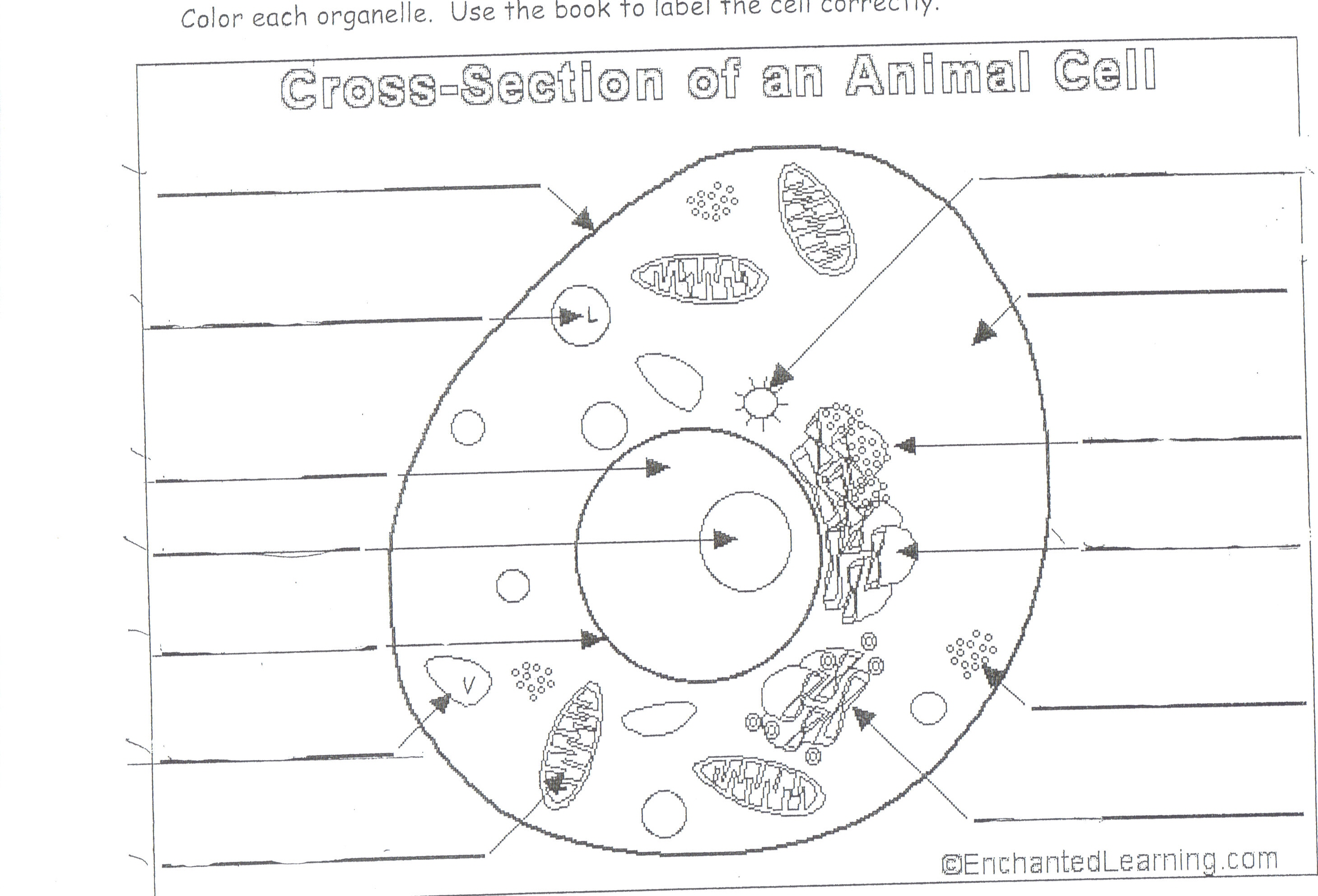 Animal Cell Drawing Worksheet
