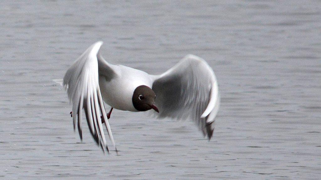 Black-headed gull.