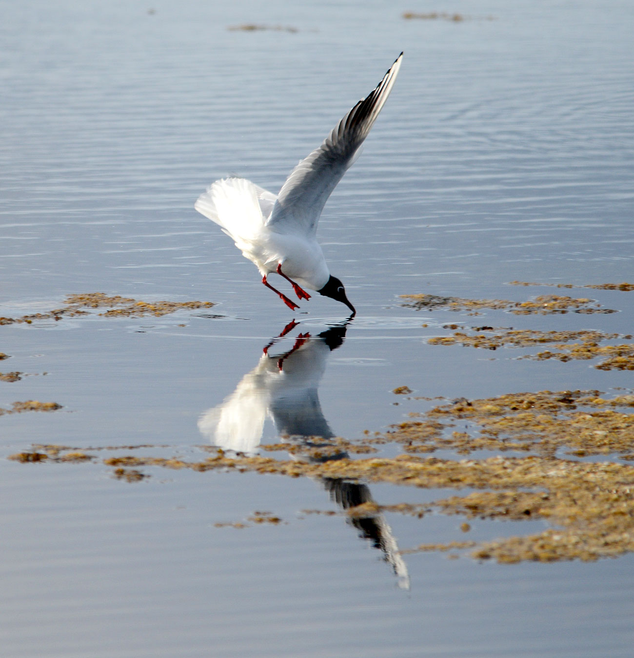 Point of entry for Black-headed gull.