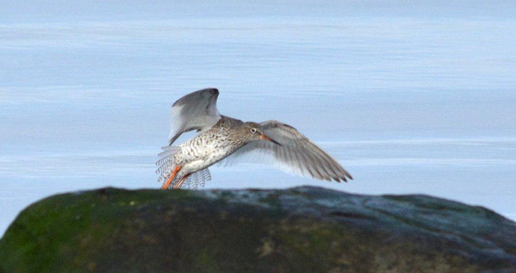 Redshank landing.
