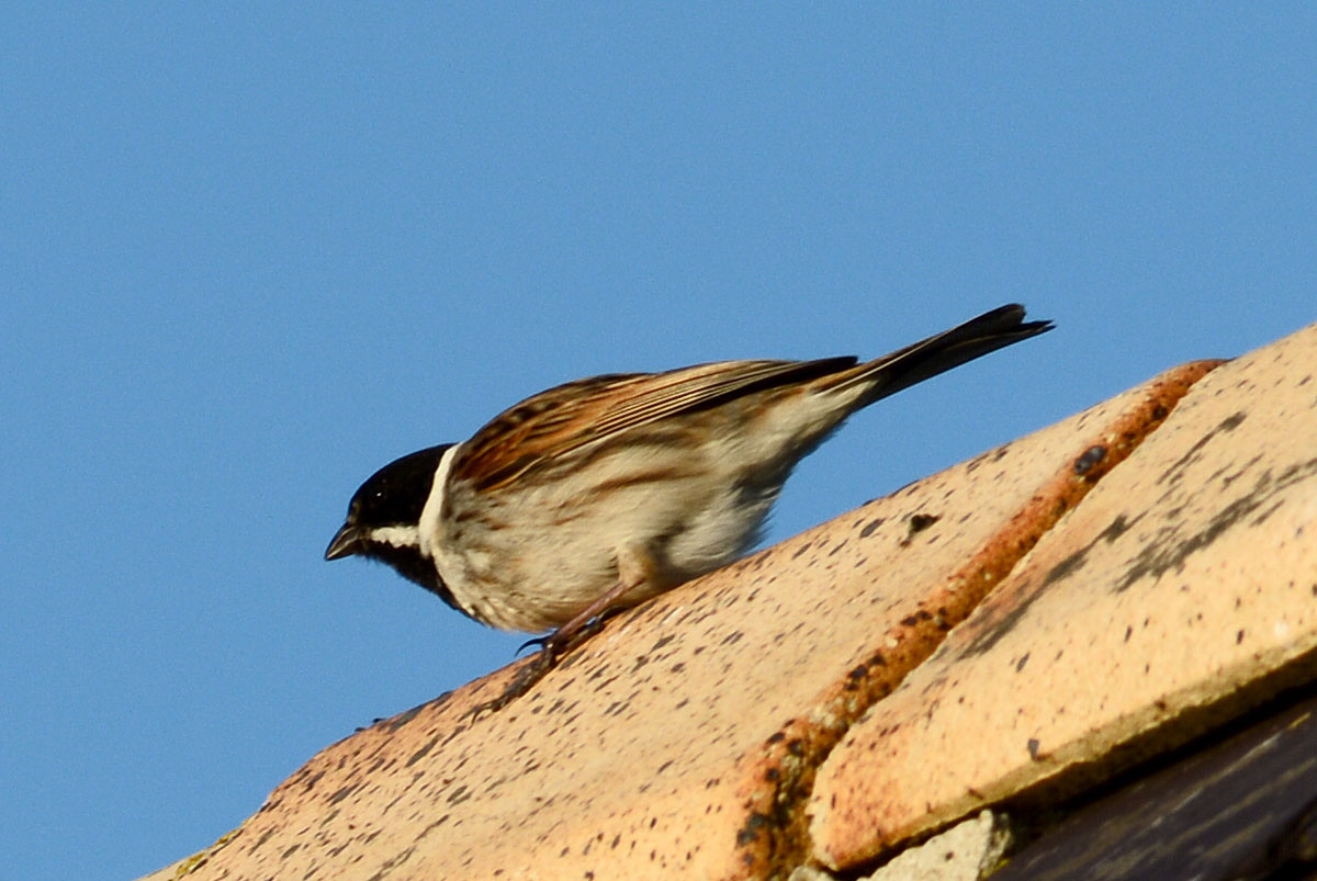 Rooftop reed-bunting.