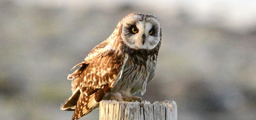 Short-eared owl featured image