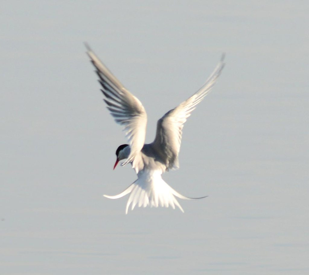 Arctic tern (pickie terno in dialect) hovering on the look out for fish.