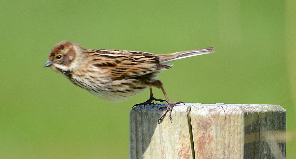 Female reed bunting on the point of no return as it takes flight.