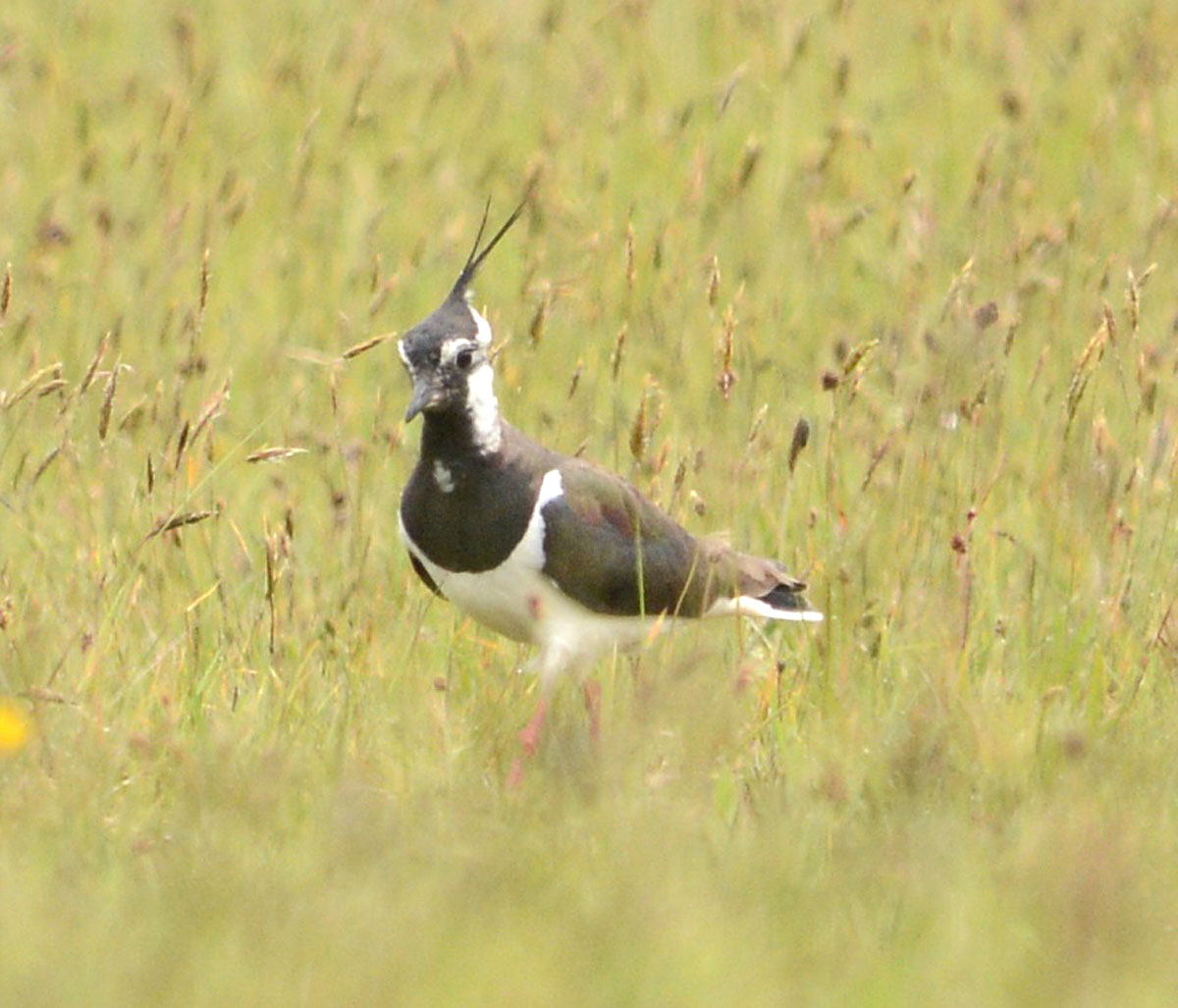 Lapwing, or teeo/teeack in Orcadian dialect.