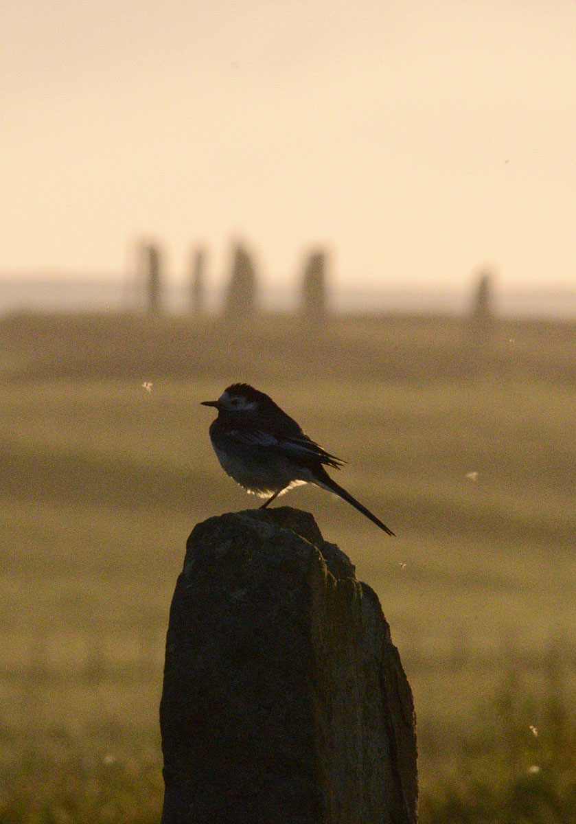 A pied wagtail takes a moment out at the end of the day.