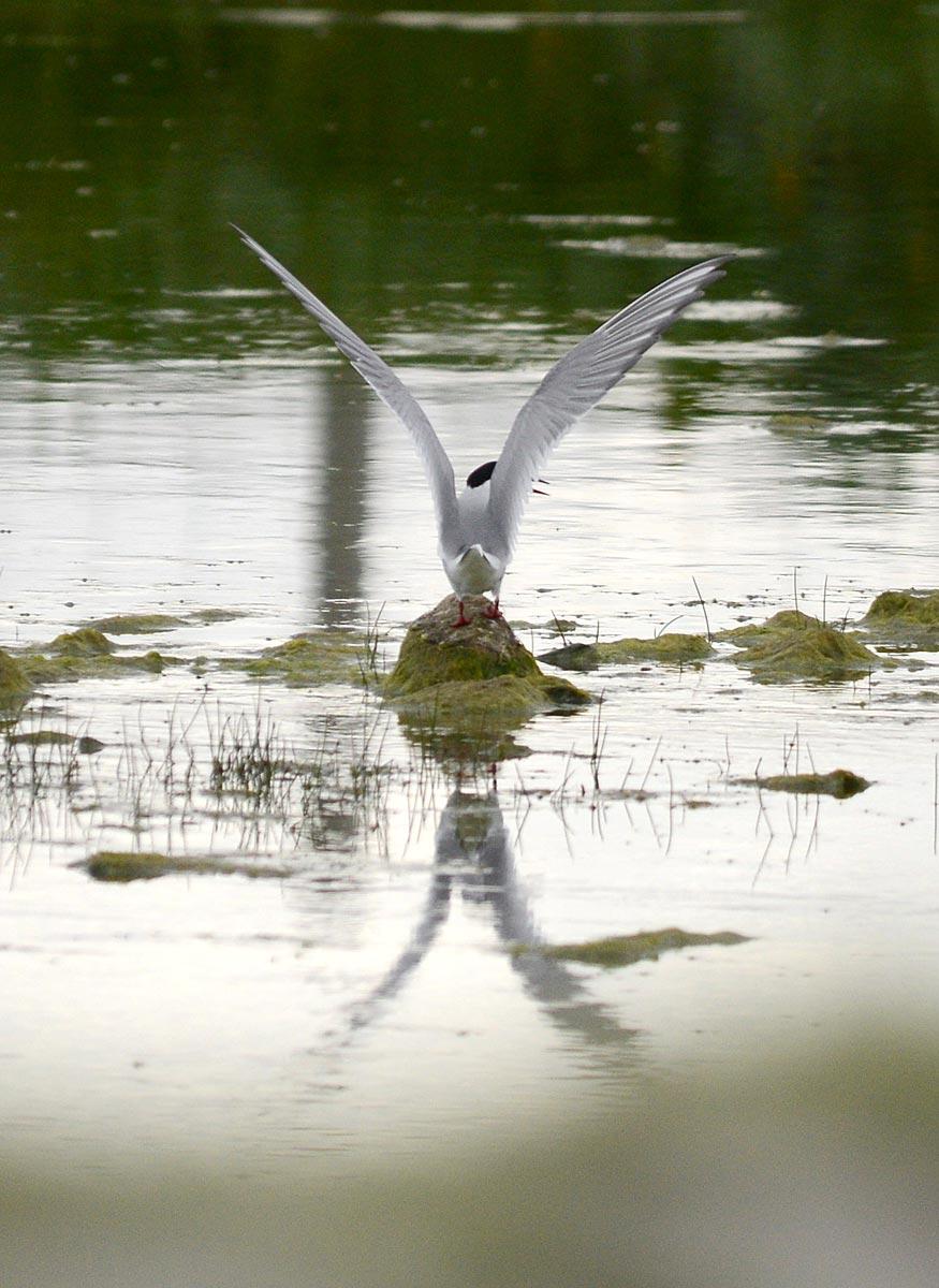 Tern landing.
