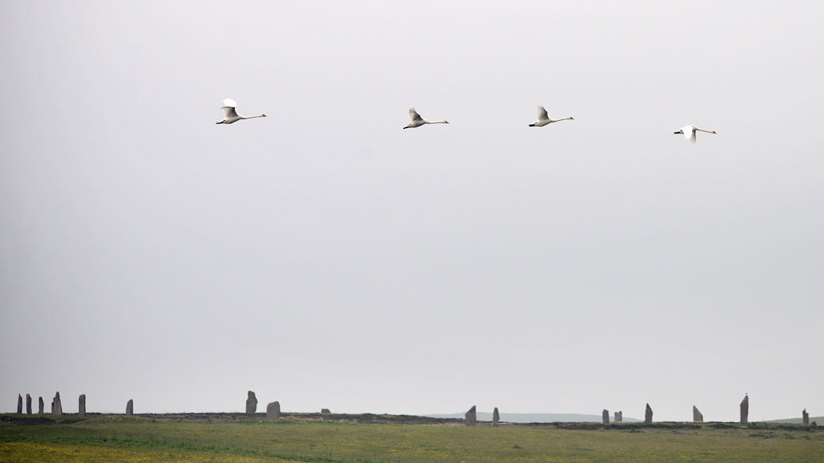 Swan flight over the Ring of Brodgar