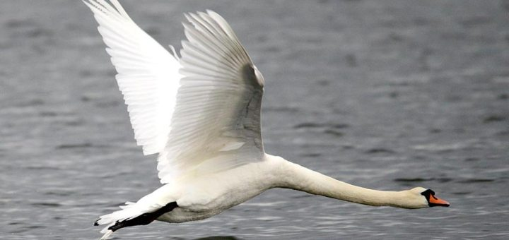 Swan flying low over the loch