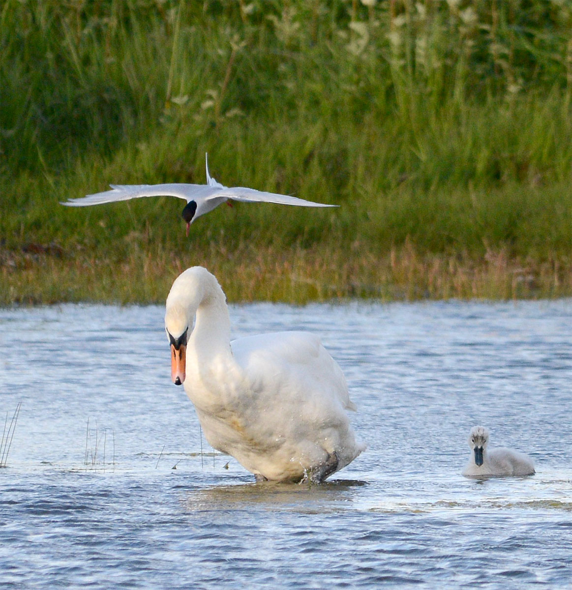 Arctic tern defending its nest from a swan who wandered a bit too close!
