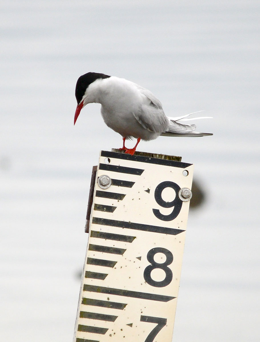 Arctic tern sizes himself up!