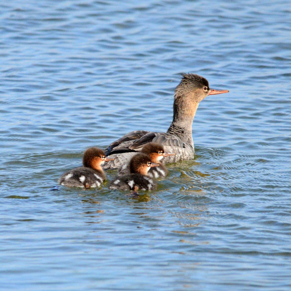 Merganser and her sadly depleted number of ducklings.